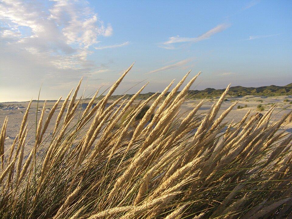 D�nengras im Wind