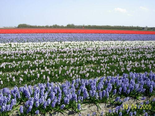 Blumenfeld im Frühjahr