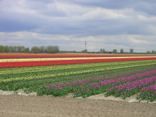 Ooltgensplaat Tulpenfeld im April