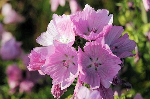 Blüten Malwen (Mosscchus Art)