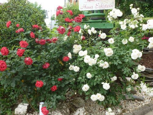 Rosen als Empfang auf dem Grundstück