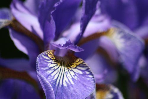Iris im Garten der Villa Lucca