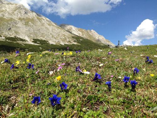 Enzianblüte am Karwendelhaus.