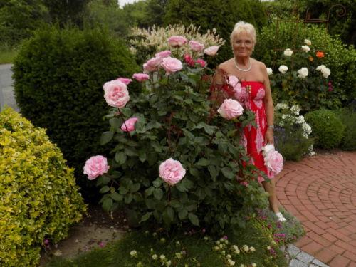 Die Rosen in voller Blütenpracht