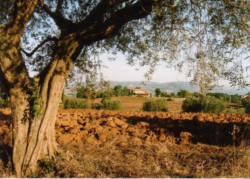 Olivenlandschaft b. PITIGLIANO im Herbst
