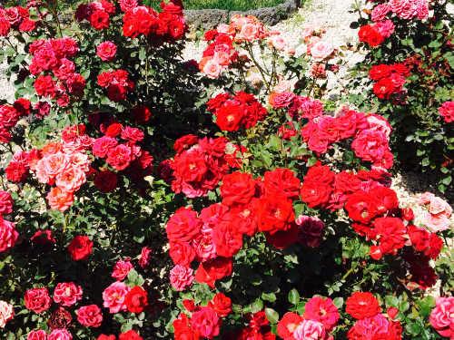 Rosenbeet vor der Wohnung