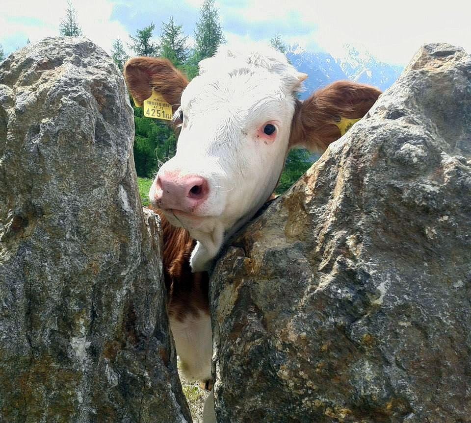 Auf Du und Du mit der Kuh!