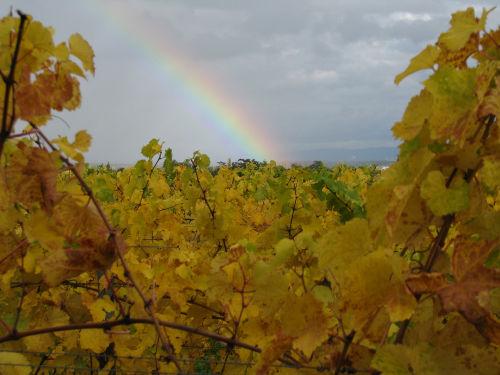 Herbst in den Rebfeldern der Umgebung