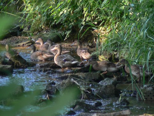 "Wildenten in der ""Nims"""