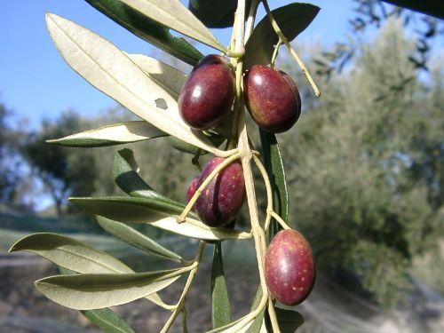 Ligurien - bekannt für Olivenöl