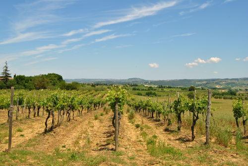 Weinberg vom Agriturismo Saletta