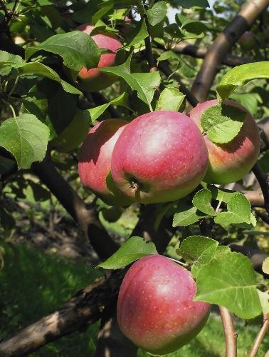 DIe Namensgeber unseres Äppelschens