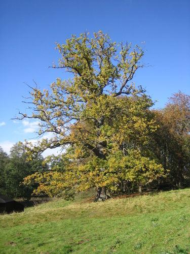 Der Reinhardswald mit imposanten Bäumen