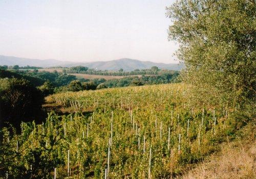 Weinlandschaft bei POGGIO DELL'OLIVO
