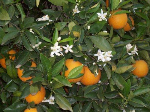 In den nahe gelegenen Orangen-Plantagen