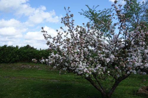 Apfelbl�te