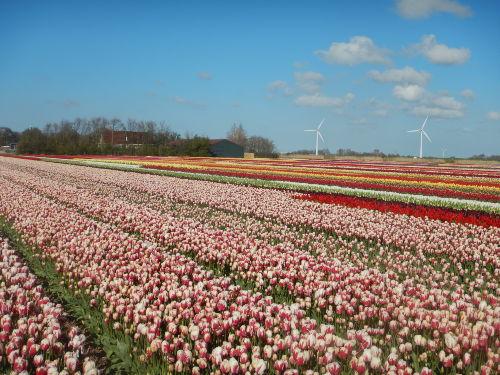 Tulpenfelder im Frrühling