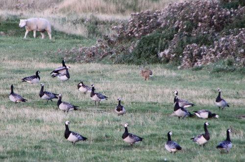 Weißwangengänse, Hase, Schaf im Einklang