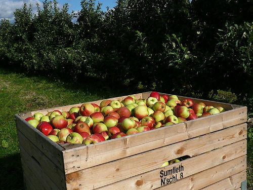 Apfelernte in Jork