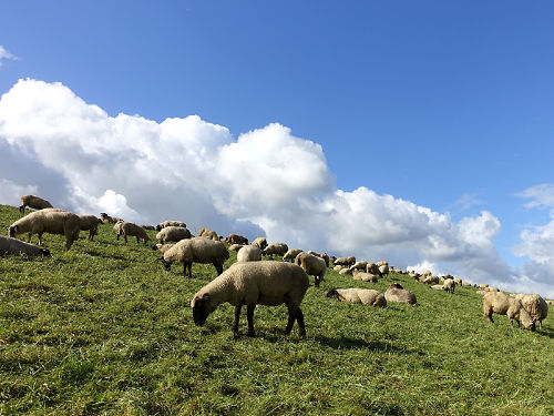 Schafe aus dem Elbdeich