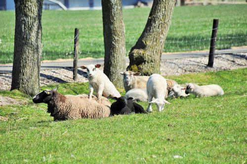 Schafe beobachten