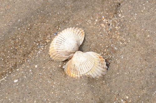 Muschel sammeln im Watt