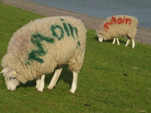 Grüßende Schafe