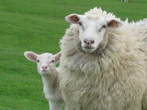 Im Frühjahr ist Lammzeit