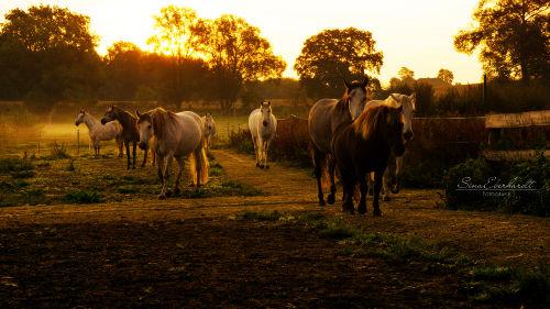 unsere Pferde auf dem Weg zum Stall