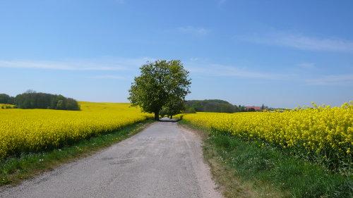 Rapsfeld bei Niendorf