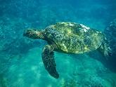 hawaii tauchen schildkroete