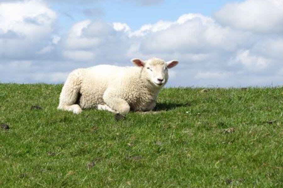 Am Nordseedeich grasen viele Schafe