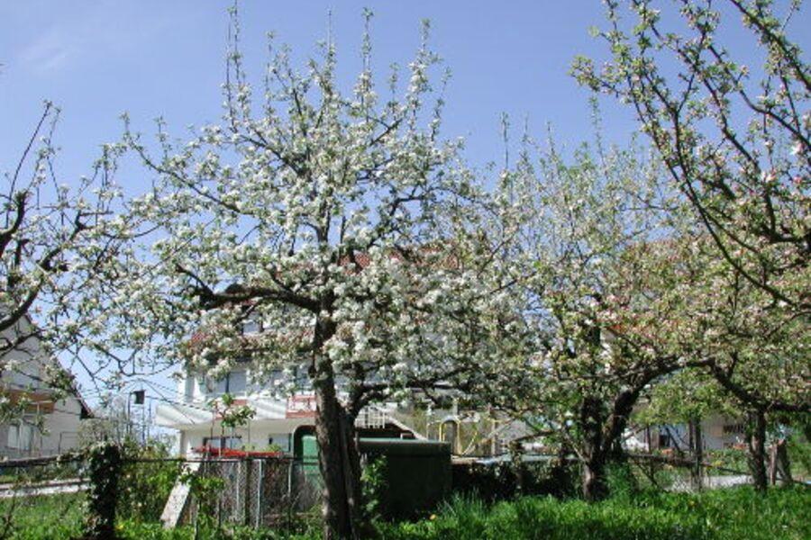 Obstblüte hinterm Haus