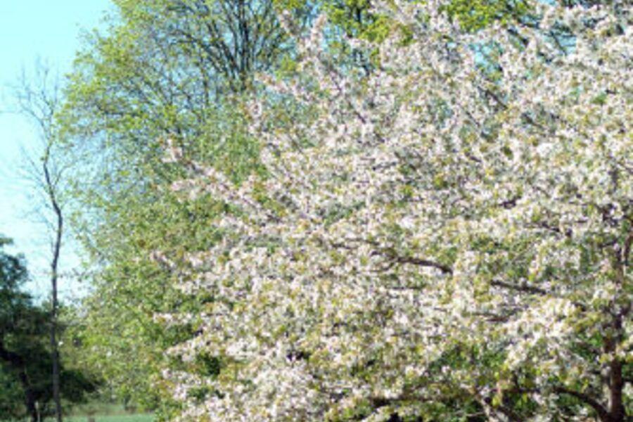 Obstbaumblüte im Garten