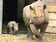 zoo berlin nashorn